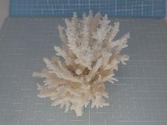 天然サンゴ飾り42(テーブルサンゴw13cm)