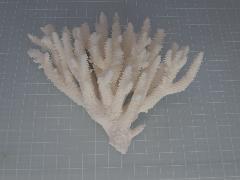 天然サンゴ飾り43(テーブルサンゴw13cm)