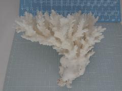 天然サンゴ飾り454(テーブルサンゴ20cm)