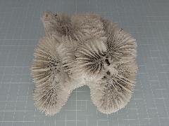 サンゴスモールタイプ(441)