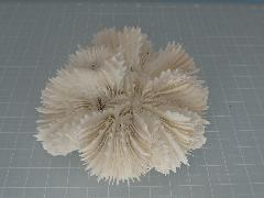 サンゴスモールタイプ(444)