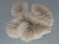 サンゴスモールタイプ(445)