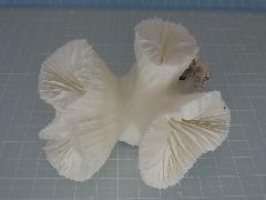 サンゴスモールタイプ(447)