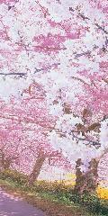 桜満開スクリーン・タペストリー180×90cmポリエステル製