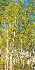 白樺スクリーン・タペストリー180×90cmポリエステル製
