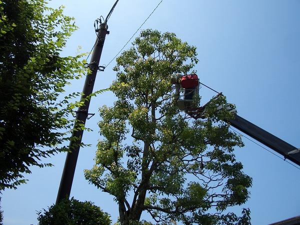 巨木の伐採