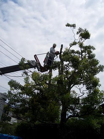 安全な大木伐採