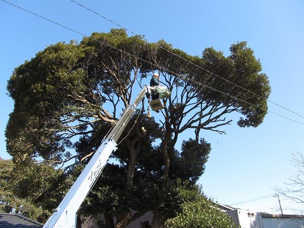 植木・椎の太木の伐採