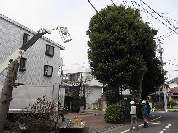 東京都目黒区で12mの椎の木を伐採!
