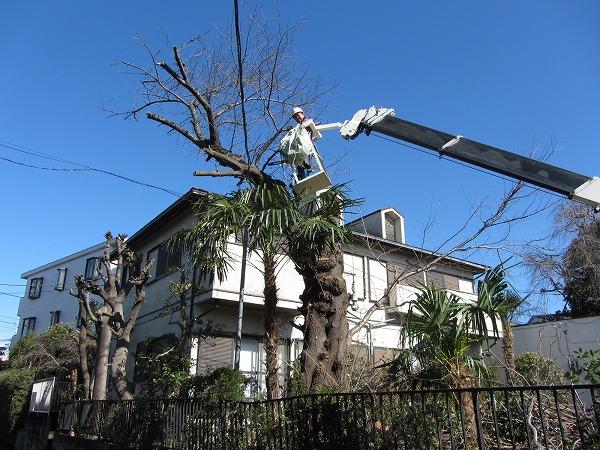 東京都大田区でサクラの木を伐採!