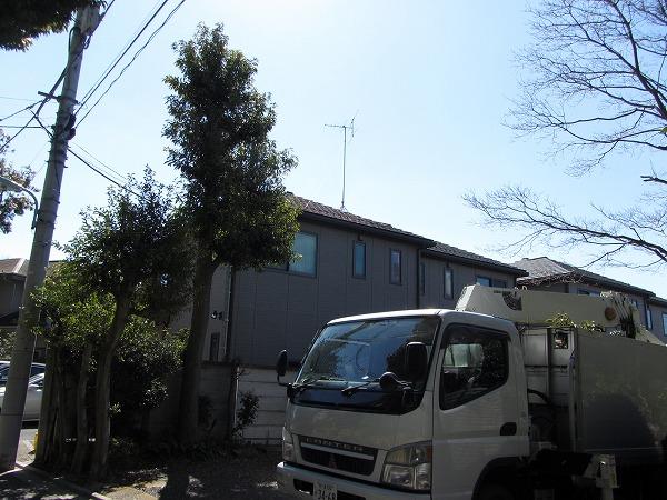 東京都目黒区の住宅のモチノキの剪定を実施!