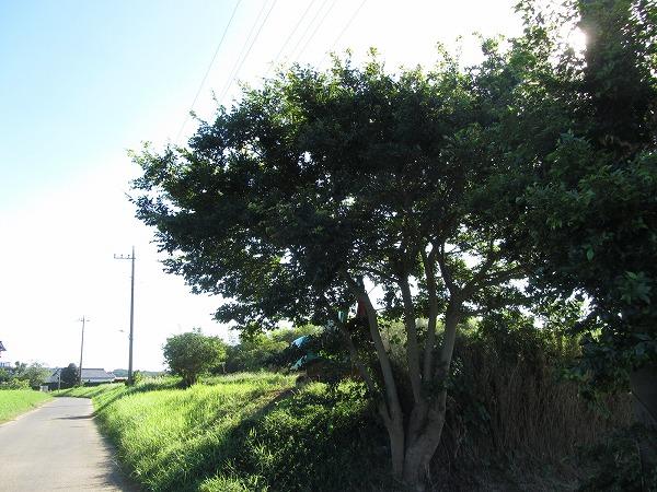 房総半島南部で土手に生えた木を伐採した事例