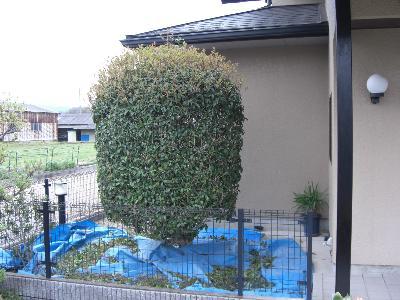 キンモクセイの刈り込み-工程2