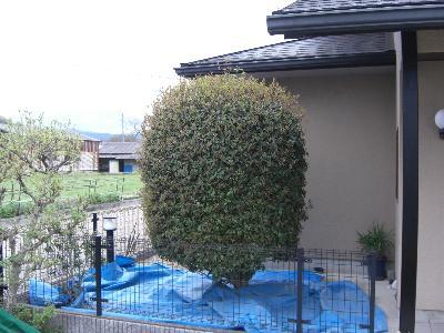 キンモクセイの刈り込み-工程1