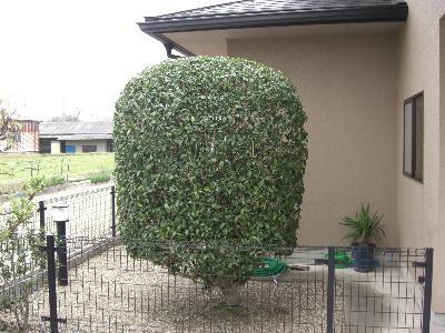 キンモクセイの刈り込み-工程4