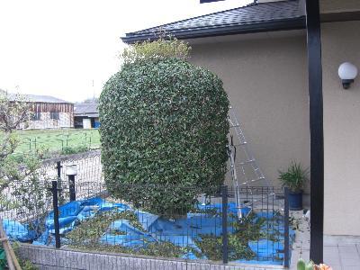 キンモクセイの刈り込み-工程3