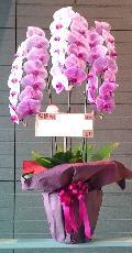 胡蝶蘭 ピンク 3本立   28輪以上