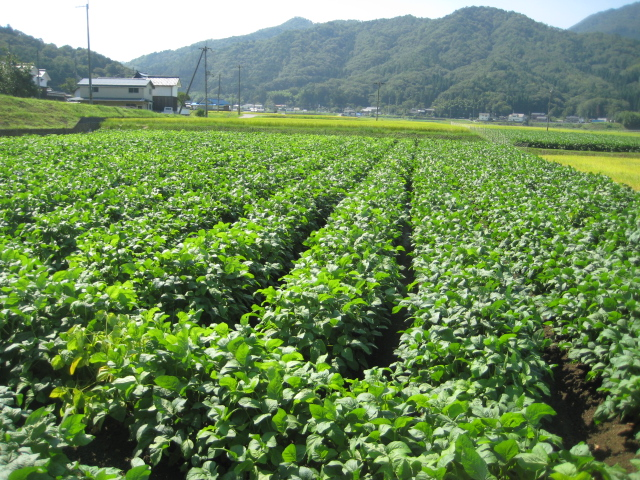丹波篠山「黒豆枝豆」