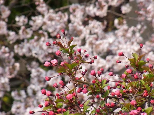 2種類の桜