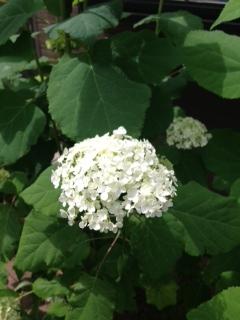 アナベル白花