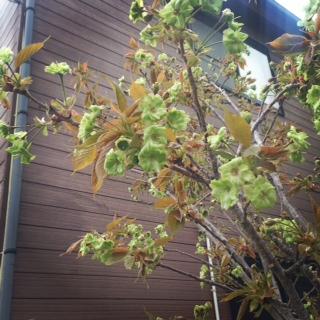 きみどりの桜