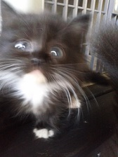 子猫販売情報