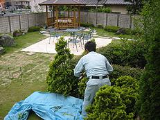 アベリアの列植の刈り込み
