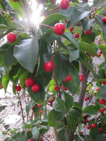 ソヨゴの紅い実