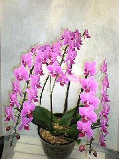胡蝶蘭のミディタイプ