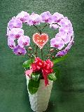 ハート型胡蝶蘭ピンク