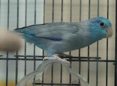 マメルリハ(ブルー)