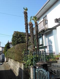 植木工事 しゅろ伐採 四街道市