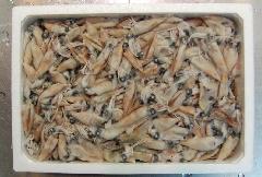 ホタルイカ 2kg 生冷凍