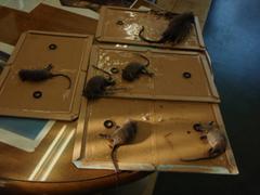 施工10日後捕獲したクマネズミ