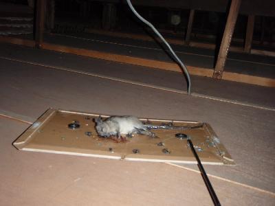 粘着板で捕獲されたクマネズミ
