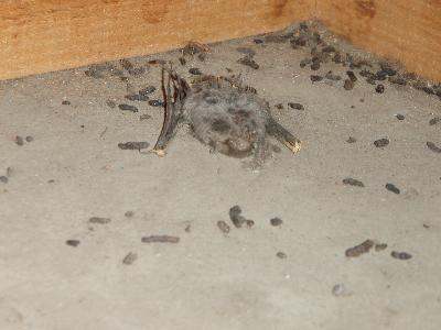 ゴキブリ ふん 大きさ