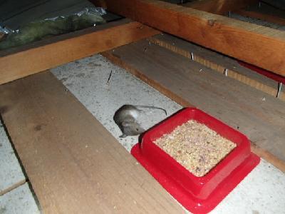 マウスフィード(毒餌)の脇で死んでいたハツカネズミ