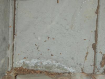 すきまからヤマトシロアリの蟻道があがっています