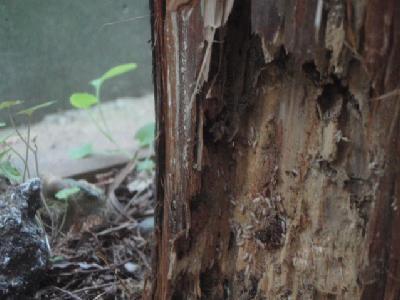 杉の樹木内に白蟻