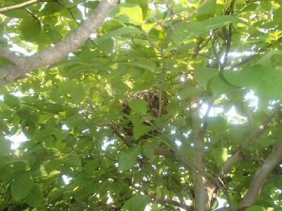 高さ約3m位のシャラの木に巣