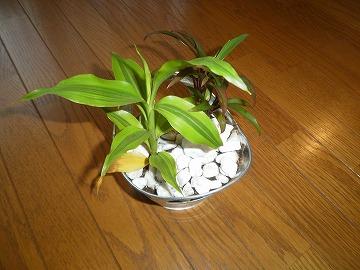 趣味の『観葉植物』�A