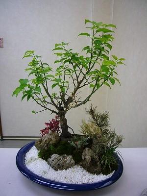 弊社の梅盆栽