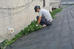東京都品川区集合住宅屋根ツタ除去作業