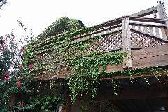 東京都品川区個人宅外壁のツタ取り(つたとり)作業