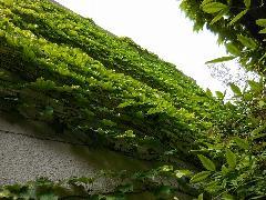 東京都文京区一軒家壁面つた取り及び植栽剪定作業