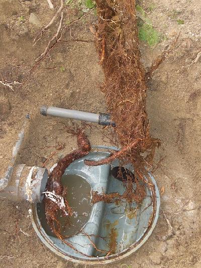 排水パイプの中に木の根がビッシリと…