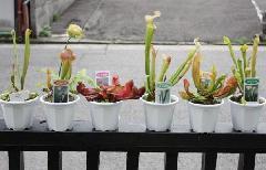 食虫植物(サラセニア)
