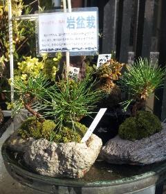 岩盆栽『黒松』