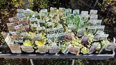 多肉植物15種類60個♪