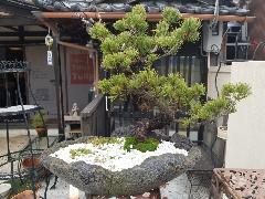 『五葉松』盆栽